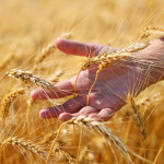 Golden ears in hand on wheat field - laughing through grief