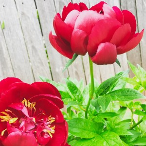 two red peonies on the vine - warfare of motherhood