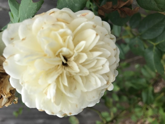 close up of white rose - the marriage pact