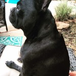 french bulldog sitting on a chair - choosing the perfect dog