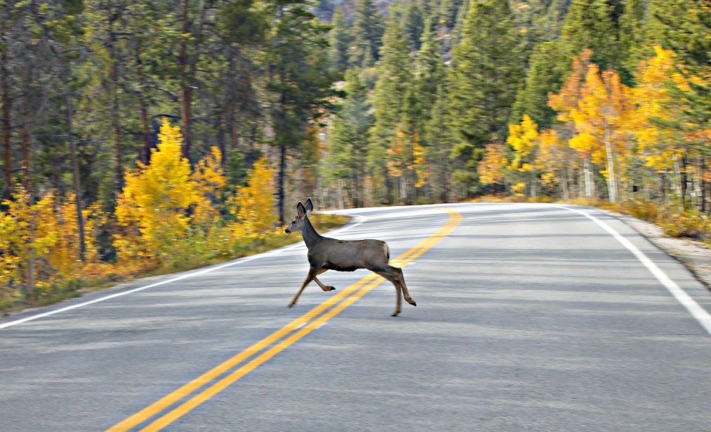 deer crossing the road - day trip to Aspen