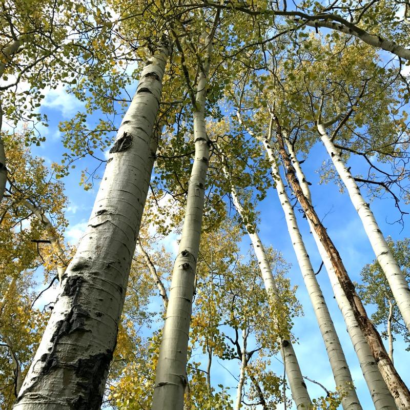 aspen trees- jobs we do
